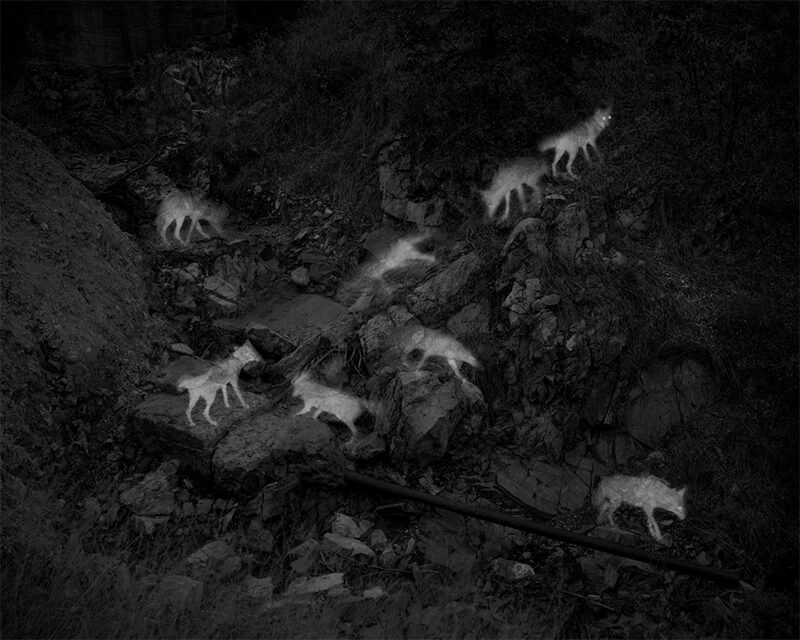 Image of coyotes at abandoned mine